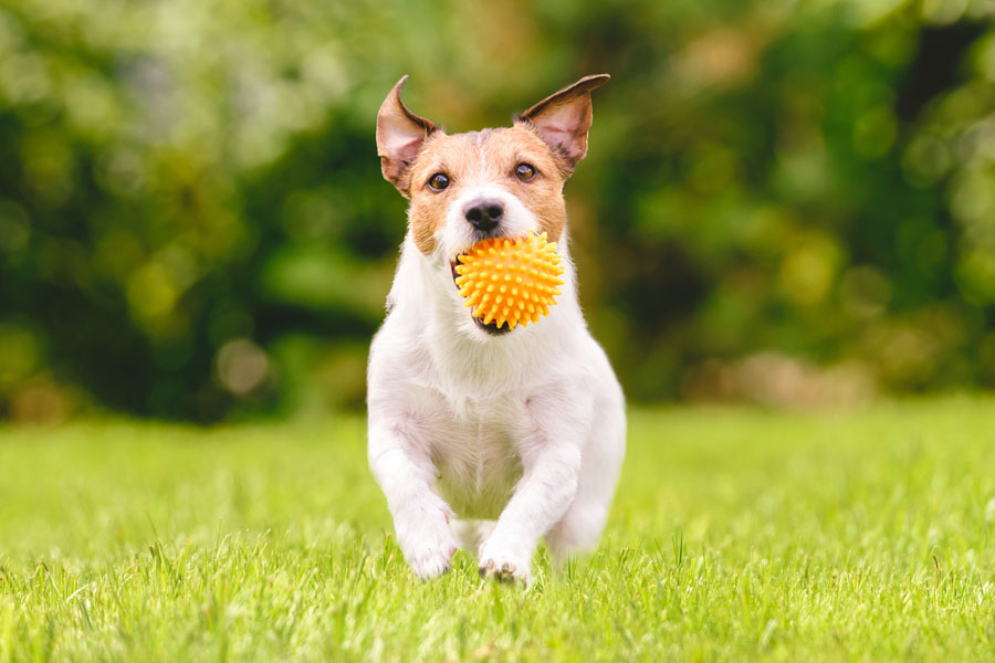 Pet Insurance - Family Dog Running With Play Ball